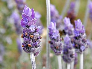 800px-Single_lavendar_flower02